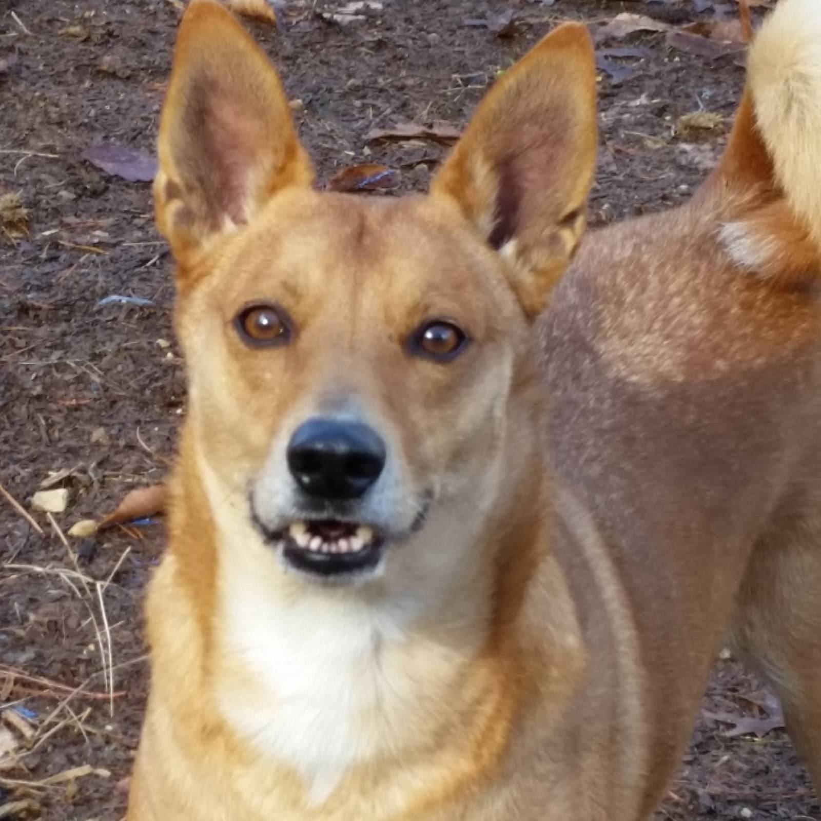 Американская индейская собака: фото, купить, видео, цена, содержание дома