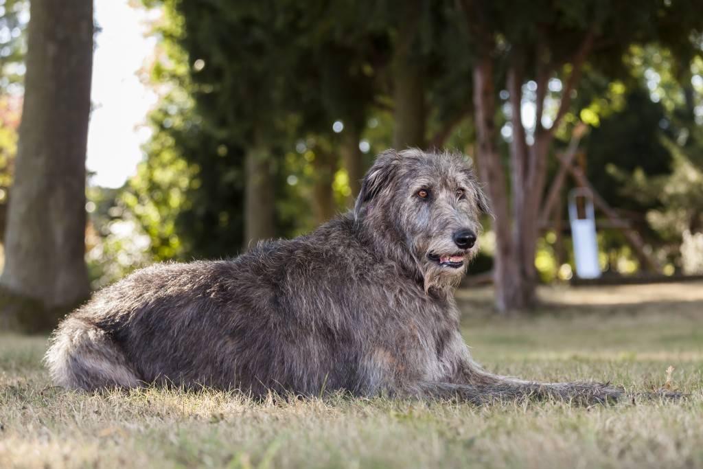 Волкодавы: все породы собак с фото и описанием, их характер и назначение