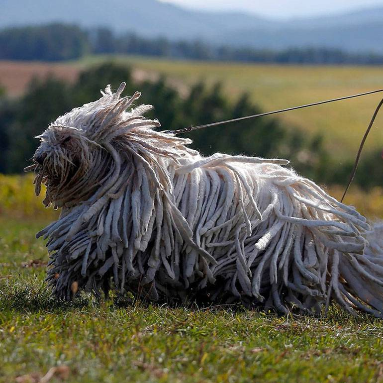 Охотничья собака командор: описание, содержание и фото породы