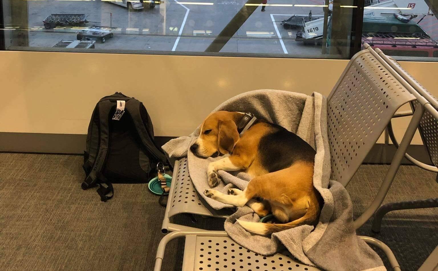 Как перевезти собаку в самолете: подробная инструкция и советы