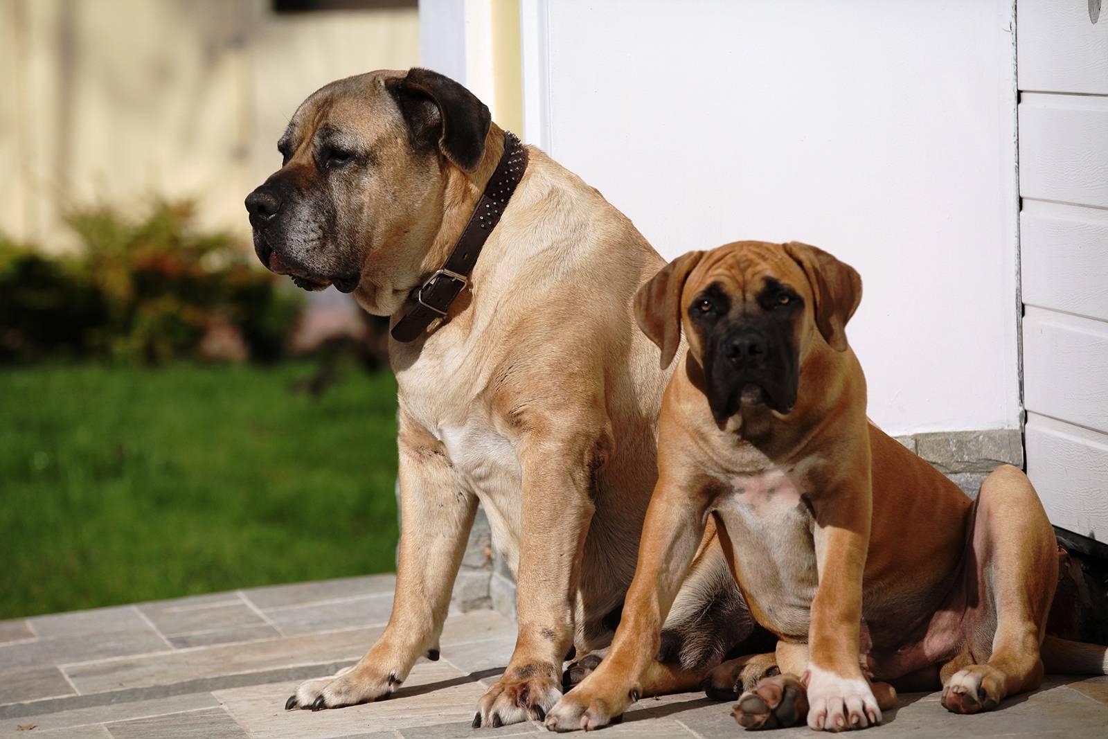 Бурбуль (южноафриканский): описание, характеристика, фото, щенки