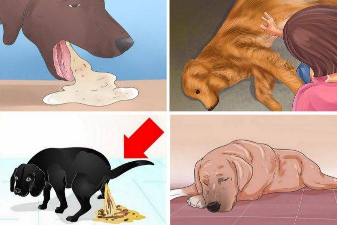 Энтерит у собак: симптомы и лечение в домашних условиях