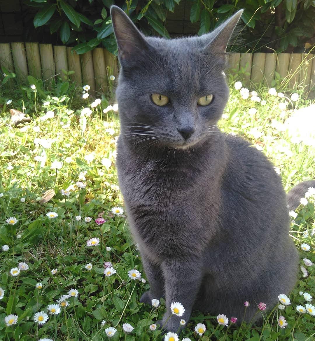 Шартрез или картезианская кошка