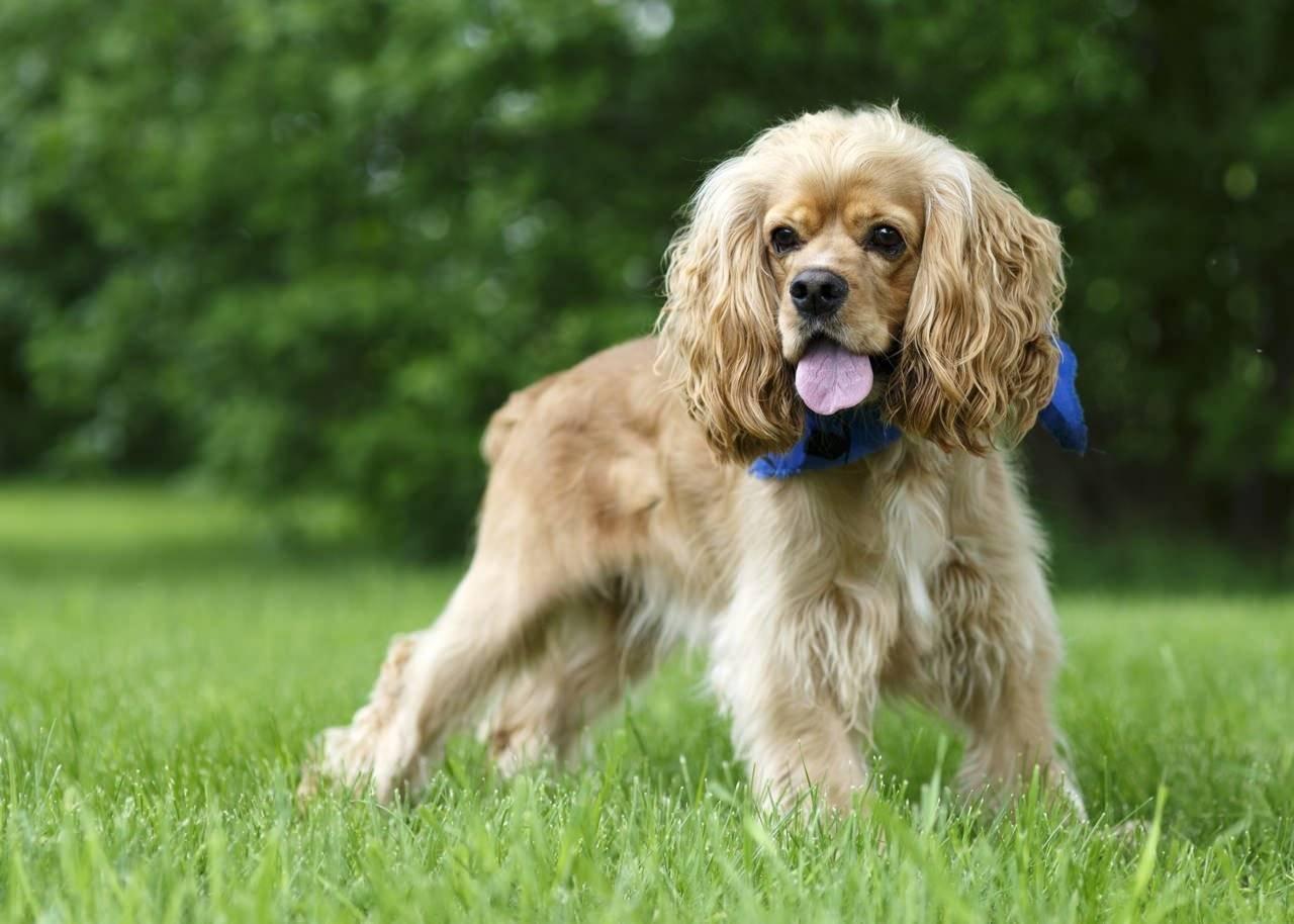 Американский кокер-спаниель: описание породы, характер собаки, фото, цена