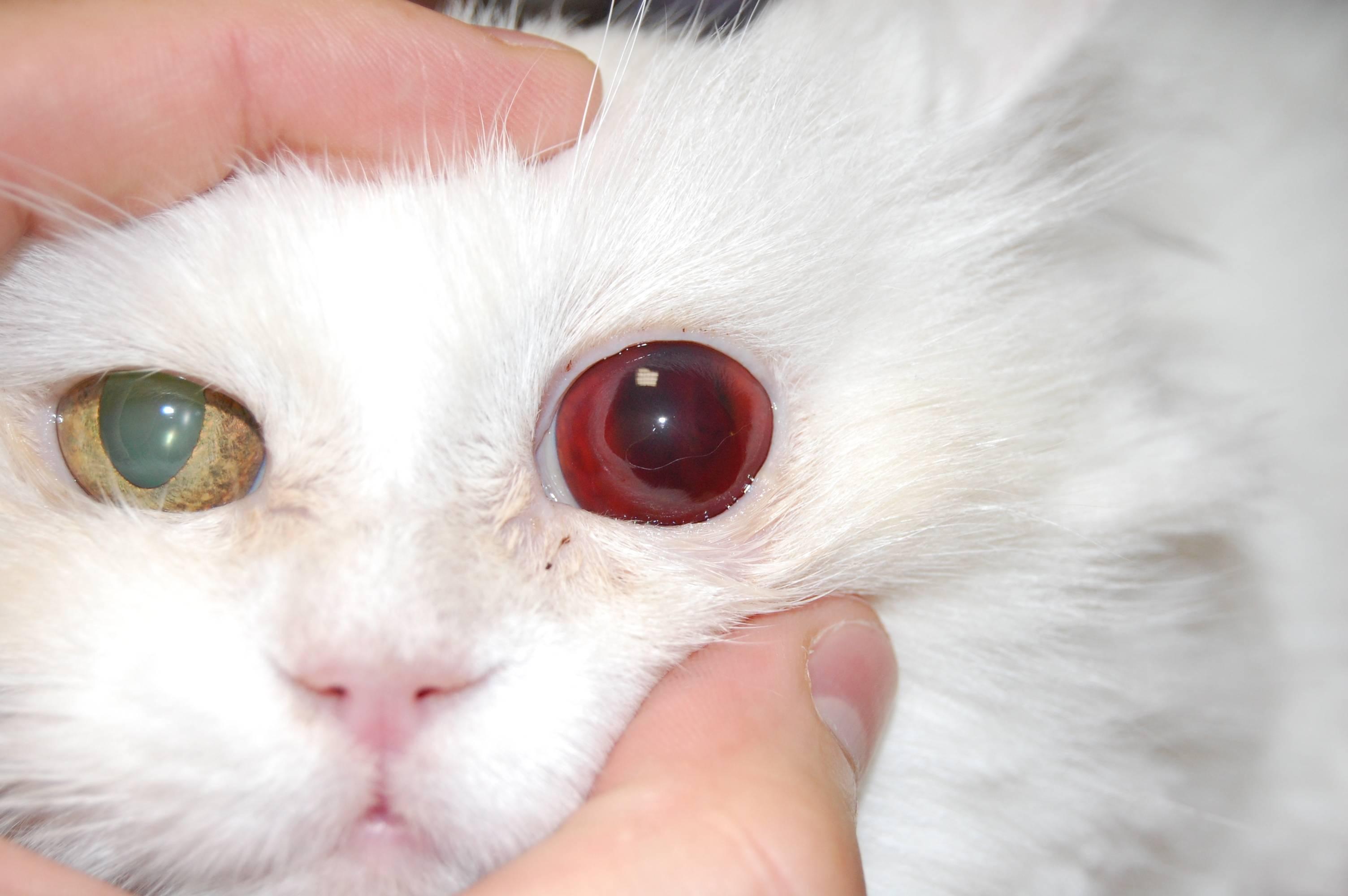 Гнойные выделения из глаз кошки: один симптом множества заболеваний