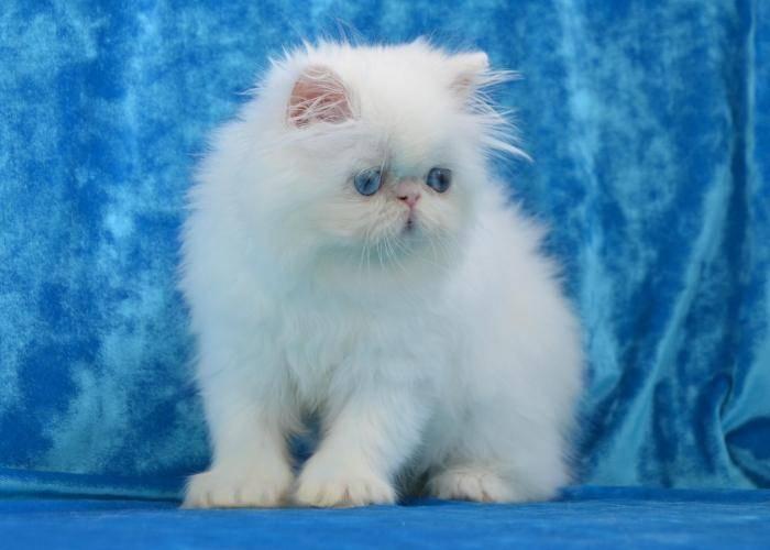 Вислоухая шотландская голубая кошка (22 фото): описание породы и особенности окраса. с каким цветом глаз рождаются?