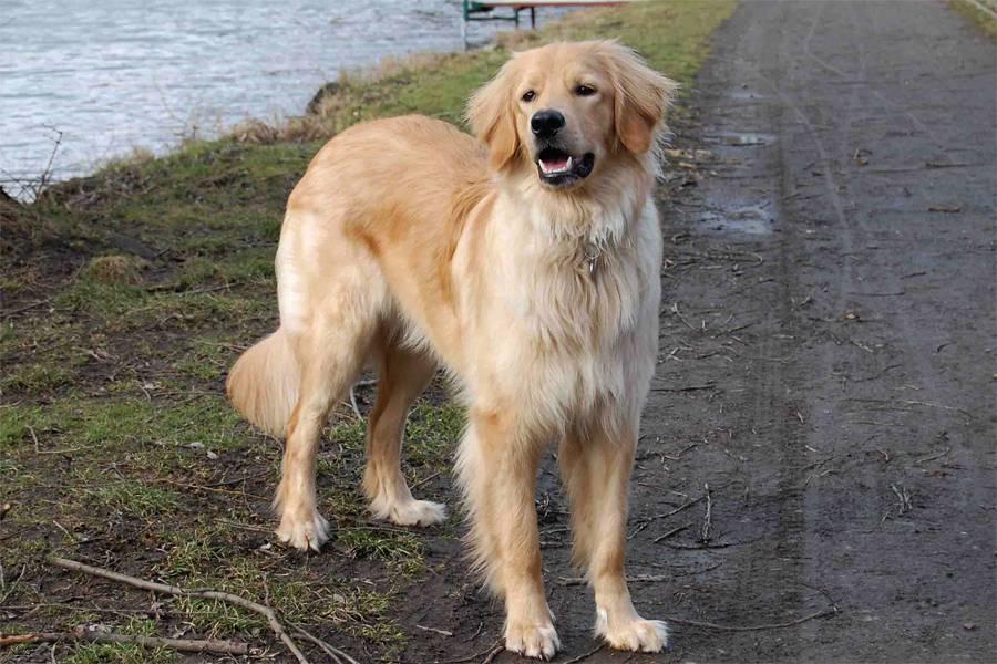 Ховаварт: описание породы собак с фото и видео