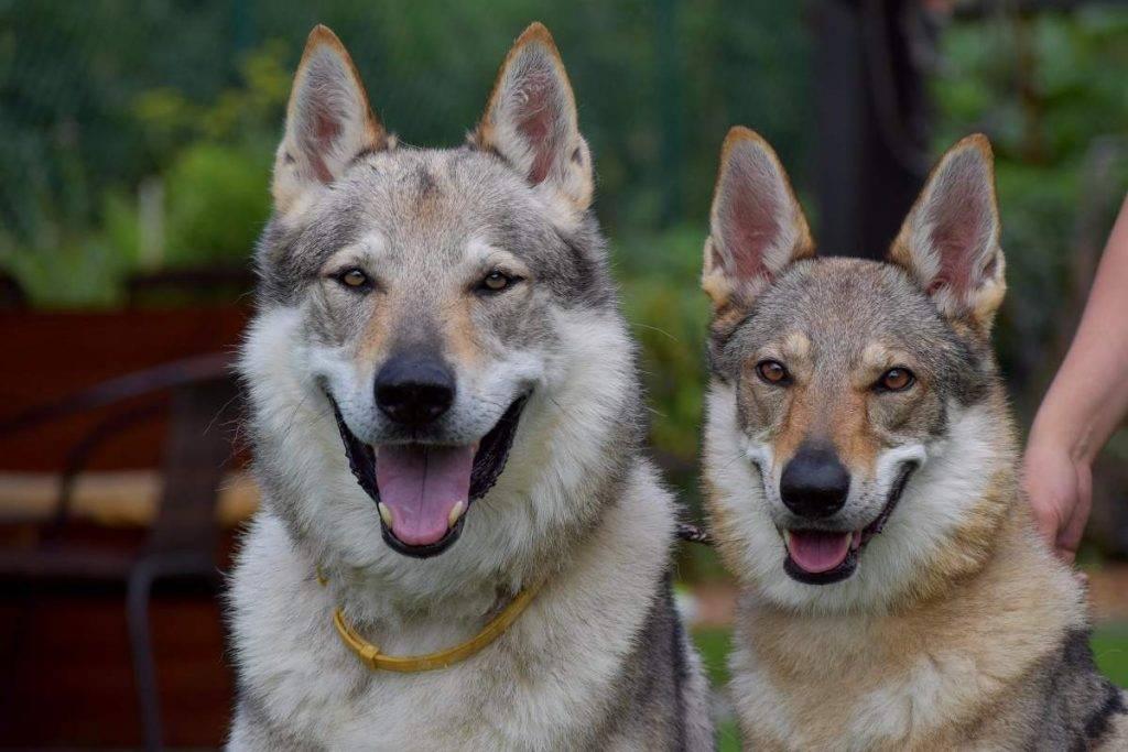 Чехословацкий влчак: фото, описание породы, характера, ухода