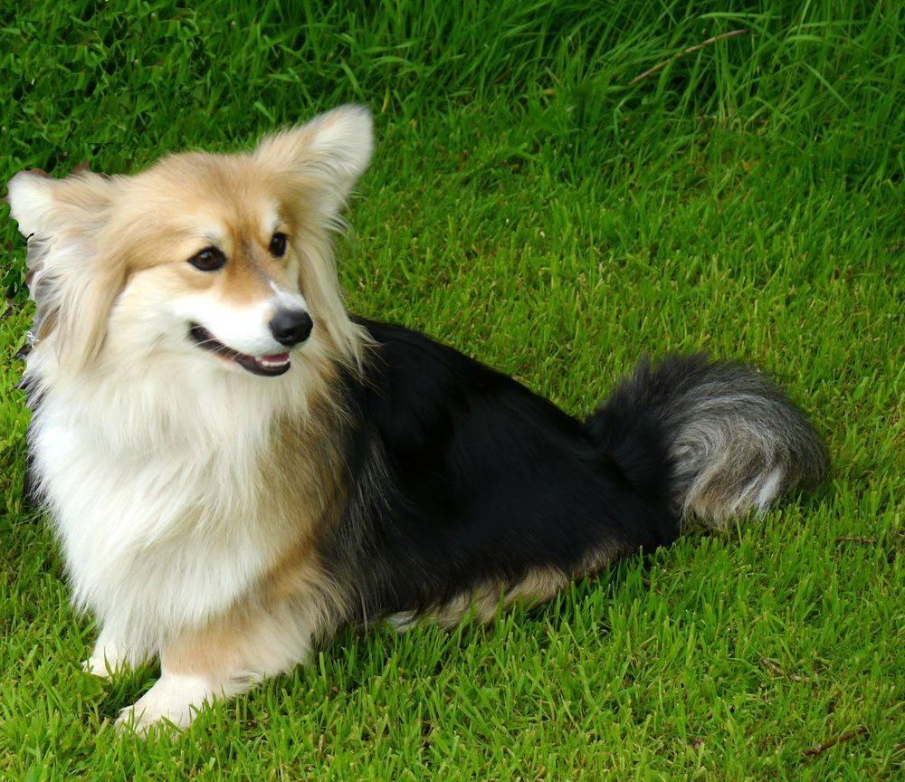 Вельш-корги-кардиган: описание породы, характер собаки и щенка, фото, цена