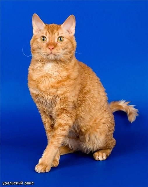 Уральский рекс: фото кошки, цена, характер породы, описание, видео уральский рекс: фото кошки, цена, характер породы, описание, видео