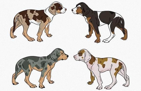 Леопардовая собака катахулы. описание, особенности, виды, уход и цена породы