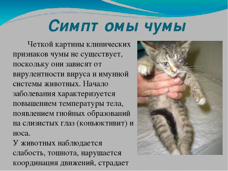 Чумка у котят