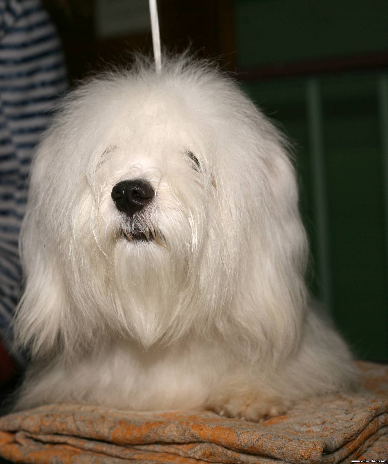 Одис-новая порода собак