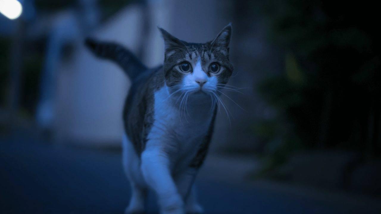 Почему кот ходит по дому и мяукает без причины: не находит места