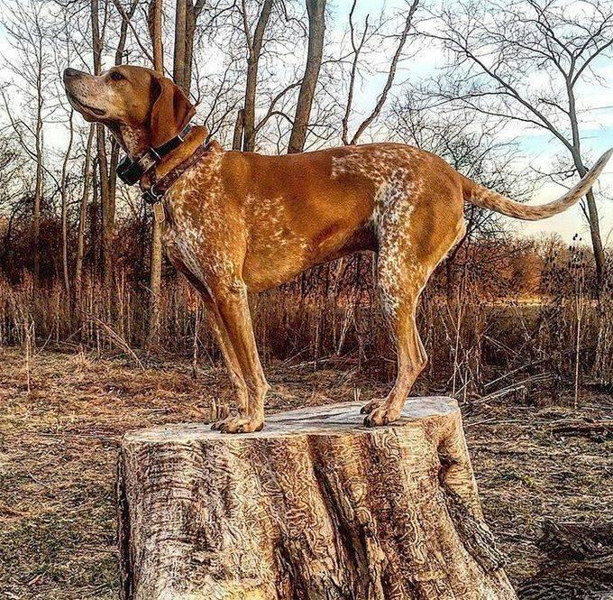 Кунхаунд (енотовая гончая): описание группы и пород собак с фото