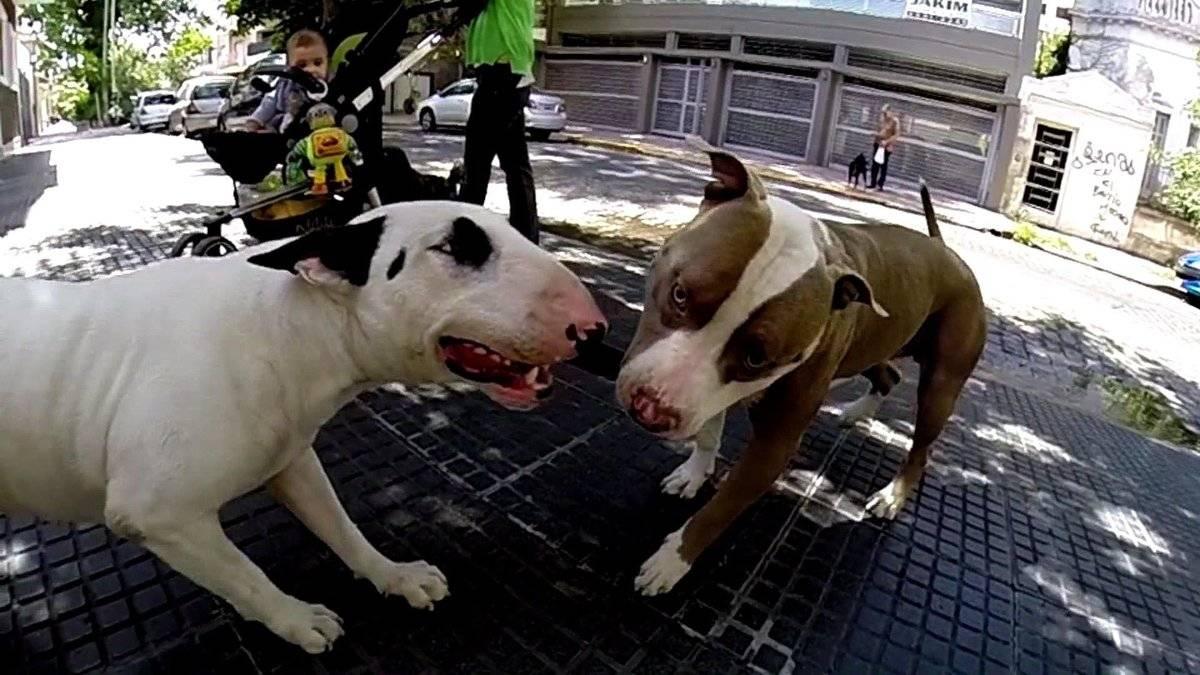 Запрещенные в некоторых странах породы собак, о которых на самом деле мечтают многие собаководы