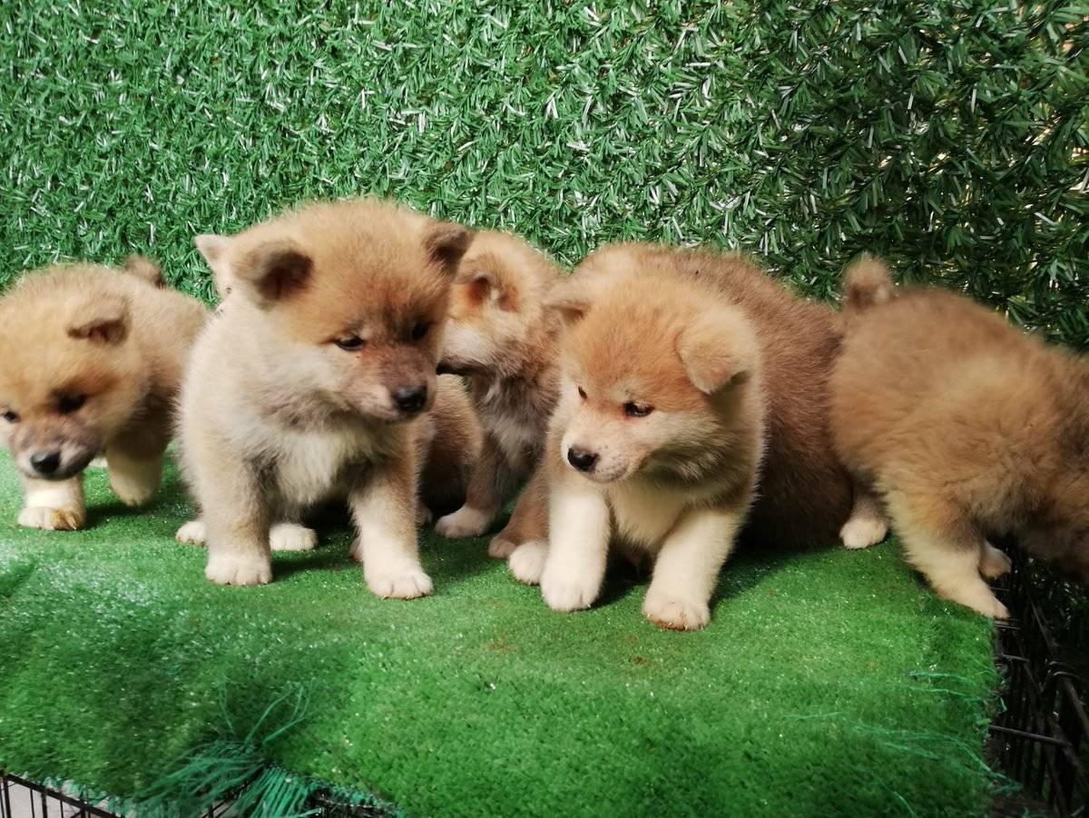 Акита-ину: 125 фото, особенности, цена, описание и характерные черты собаки
