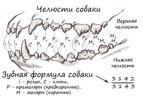 Как по зубам определить возраст собаки