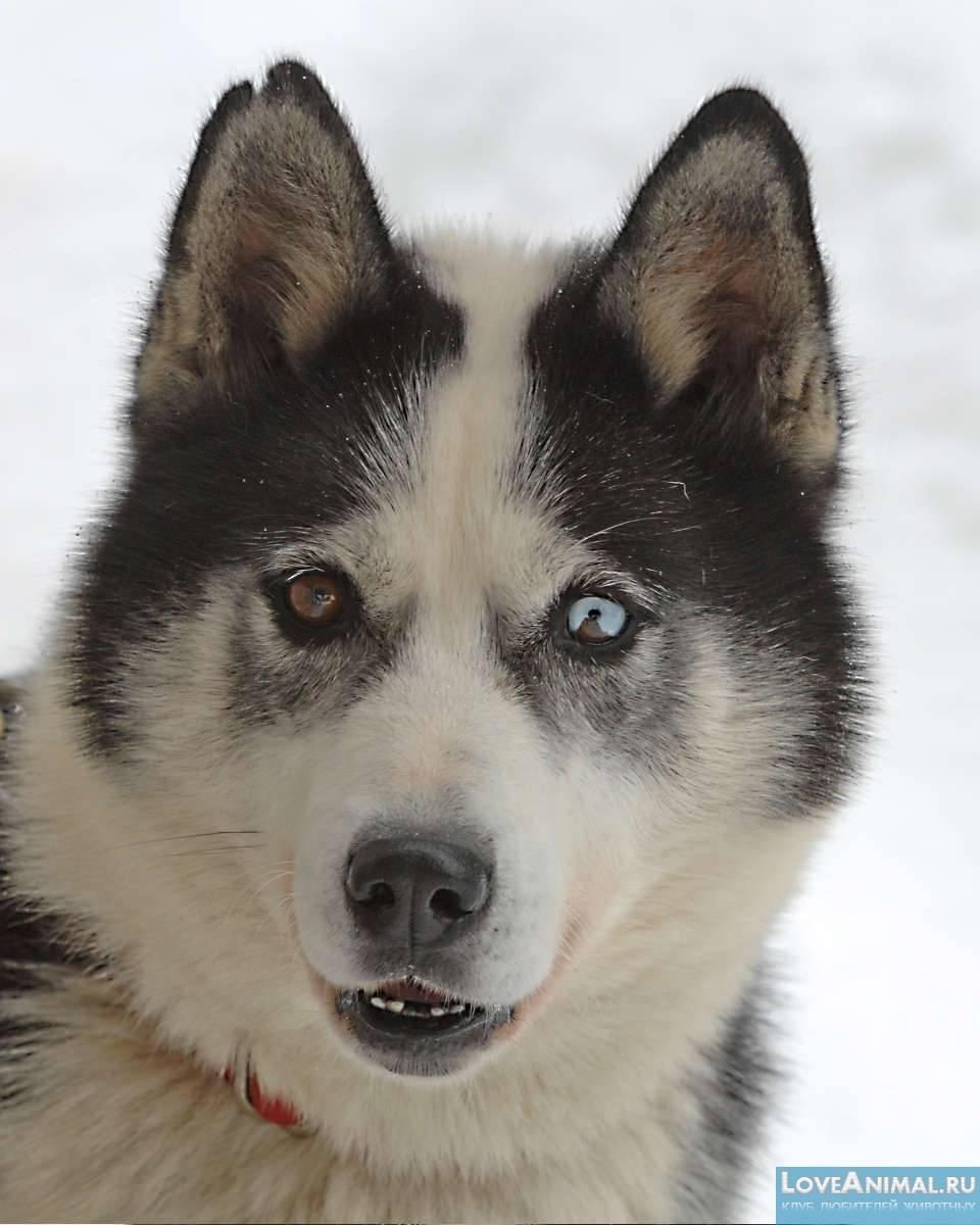 Сибирский хаски – надёжный друг с весёлым характером и крепким здоровьем