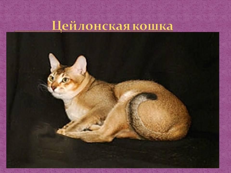 Цейлонская кошка (цейлонский кот) – усатый-полосатый