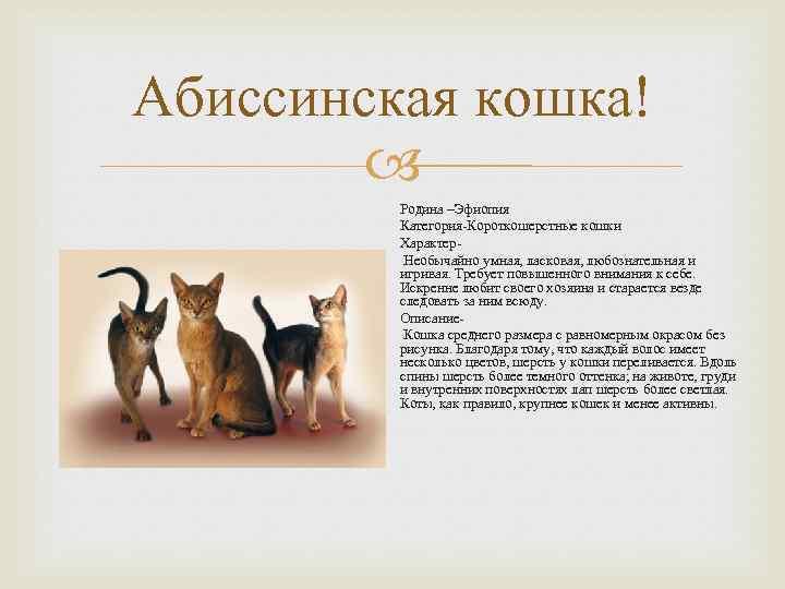 Окрасы абиссинских кошек: разновидности, определение, выбор