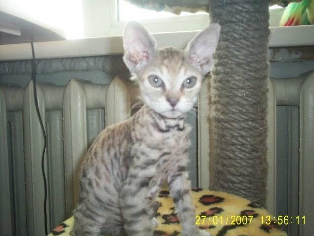 Мейн - кун метис: фото, помесь обычной кошки, смесь британца, скрещенный с сибирской кошкой, как отличить полукровку кота