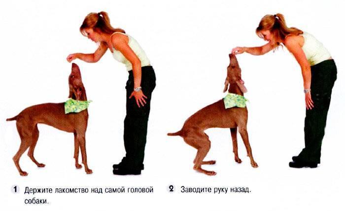 Общий курс дрессировки (окд) для собак: что входит, команды, нормативы сдачи - dogtricks.ru