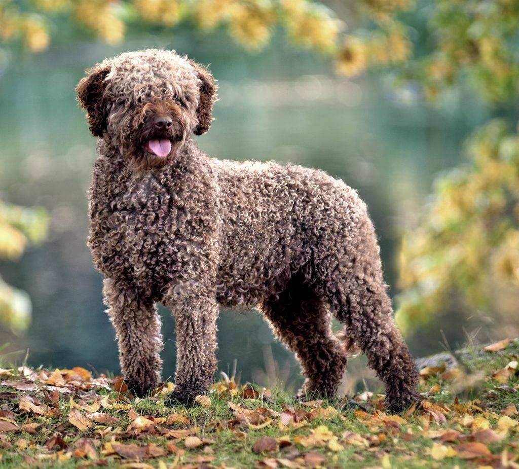 Испанская водяная собака википедия
