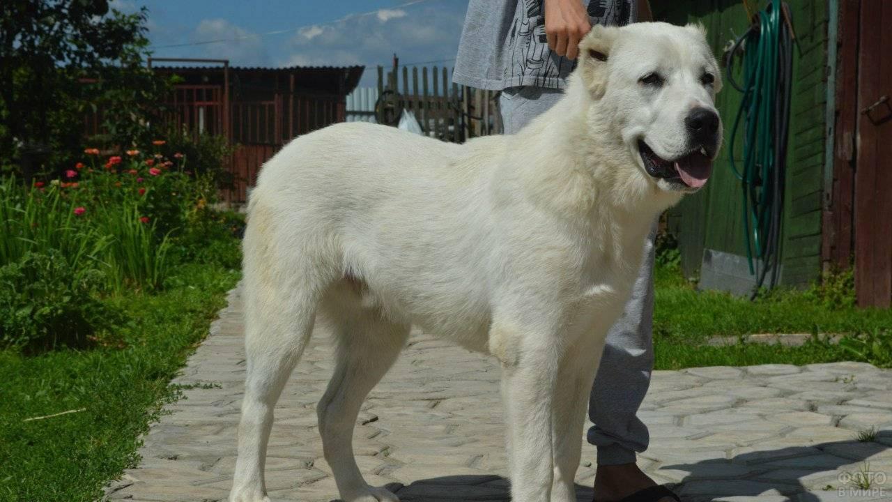 Имя для собаки мальчика алабая - мой пёс