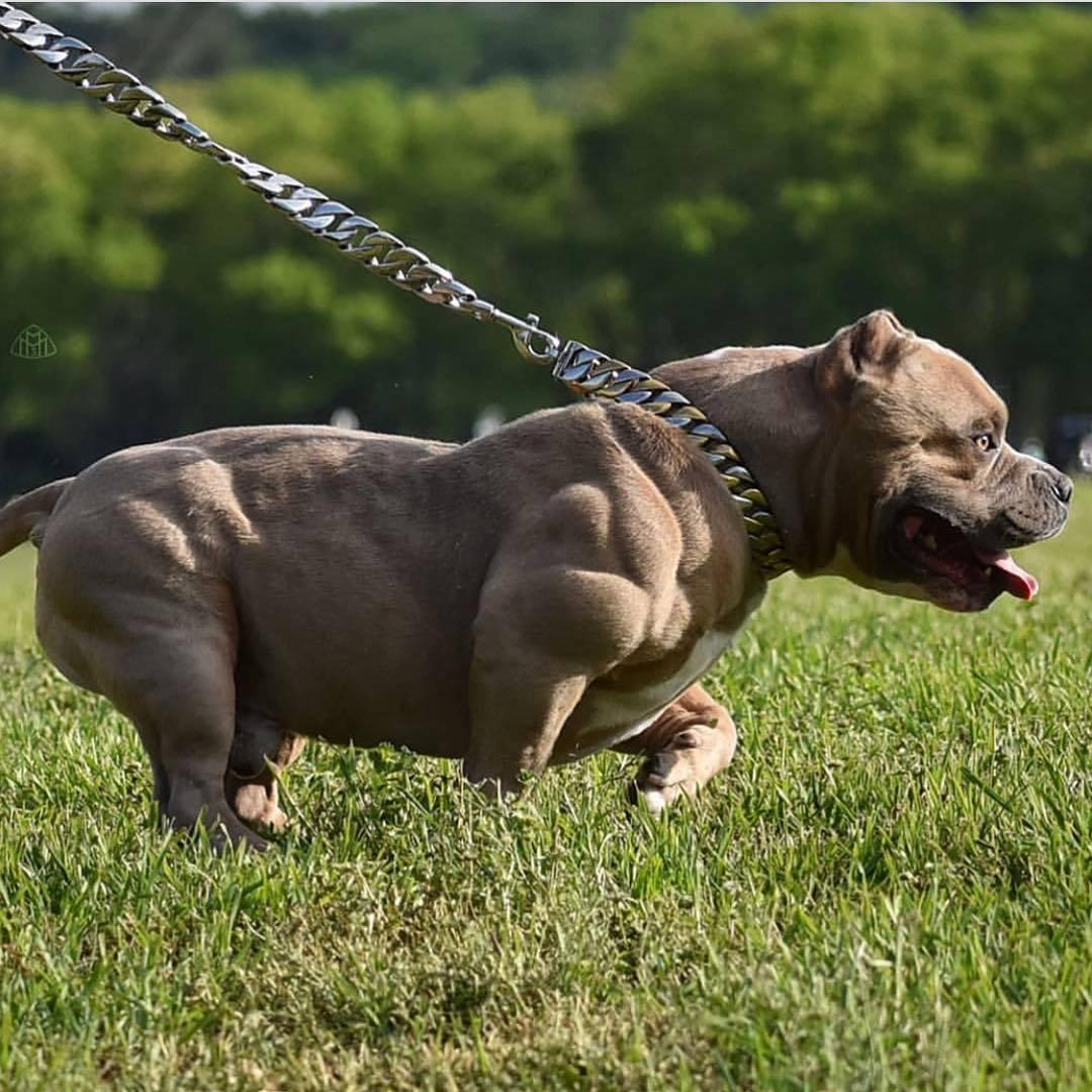 Самая мускулистая собака в мире — большая венди