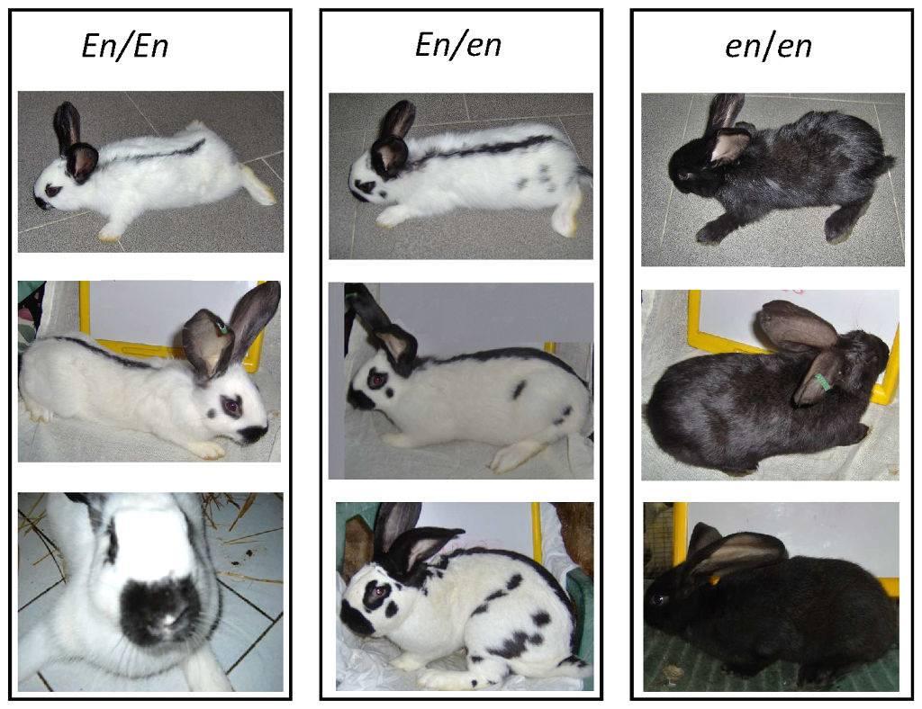 Кролик бабочка: фото породы, описание