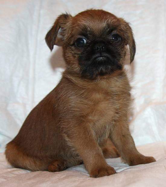 Брюссельский гриффон: все о собаке, фото, описание породы, характер, цена