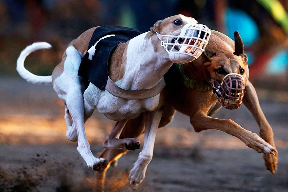 Самая быстрая собака в мире: какая порода