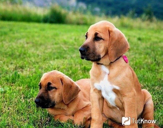 Миниатюрный бультерьер собака. описание, особенности, уход и цена породы | sobakagav.ru