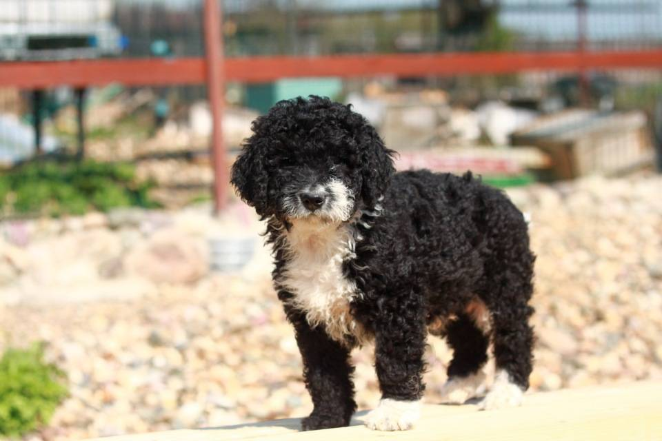 Испанская водяная собака — фото, цена