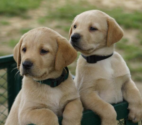 Клички для лабрадора мальчика и девочки, как выбрать имя для своей собаки