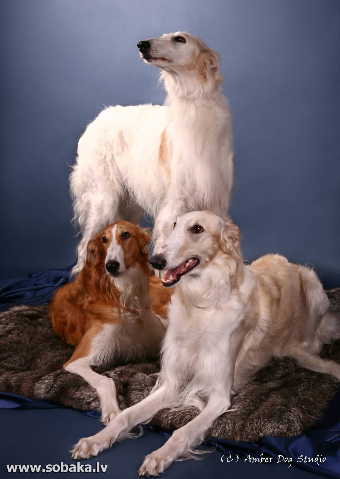 Русская псовая борзая: описание породы, фото, щенки, стандарт