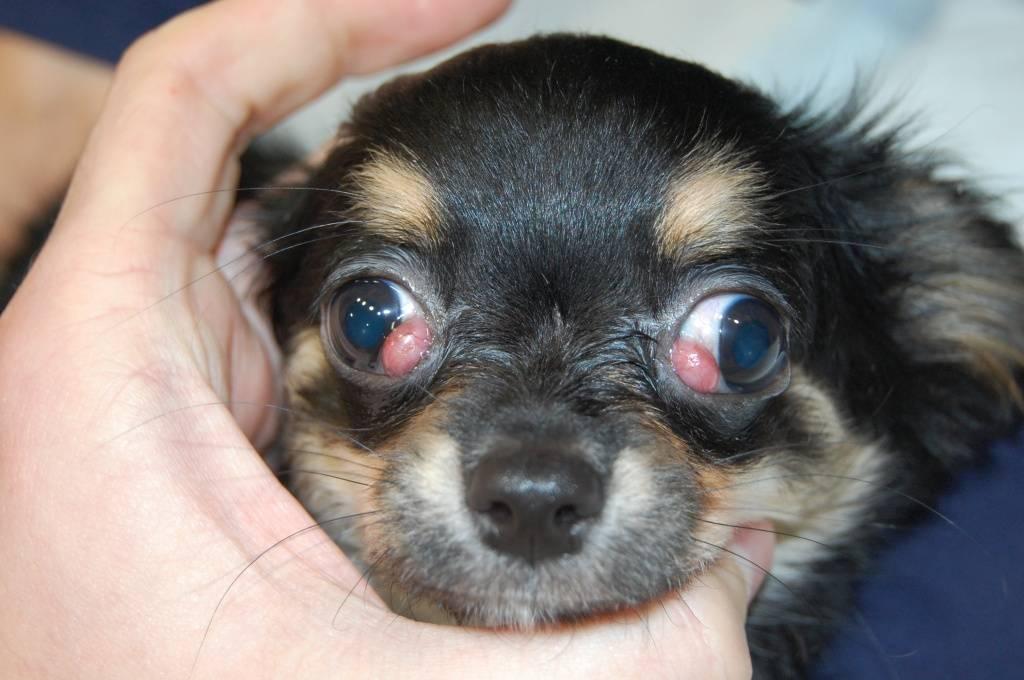 Отчего у собаки вокруг глаз может выпадать шерсть