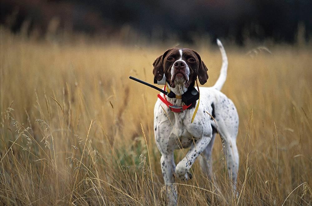 Английский пойнтер — одна из лучших охотничьих пород собак