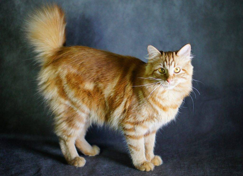 Курильский бобтейл: фото, описание породы кошек, характер, цена