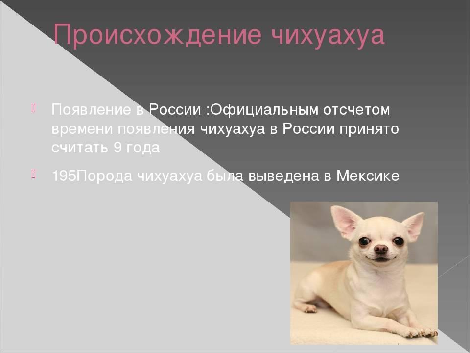 Собака чихуахуа - нюансы содержания карликового питомца