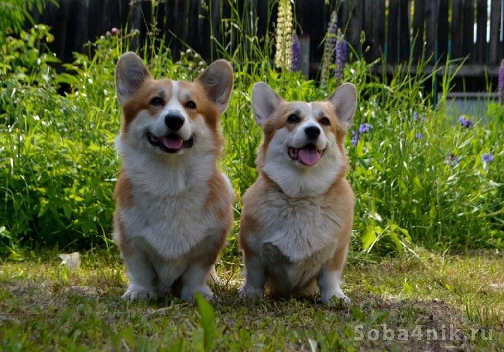 Плюсы и минусы породы корги: описание и характеристика собак. достоинства и недостатки вельш-корги. отзывы владельцев