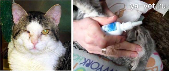 """Ринит кошек - аллергический ринит, симптомы и лечение  насморка у кошек в москве. ветеринарная клиника """"зоостатус"""""""