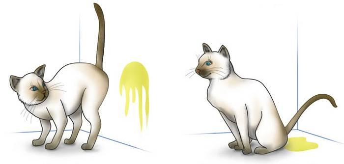 Метят ли кошки территорию как коты: что делать и как отучить