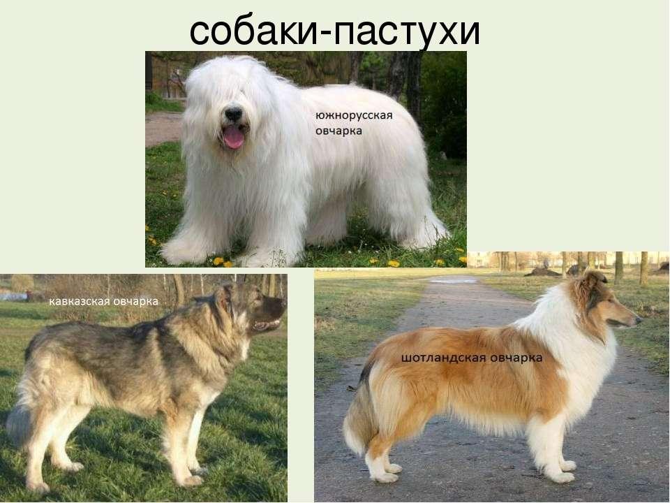 Пастушьи породы собак