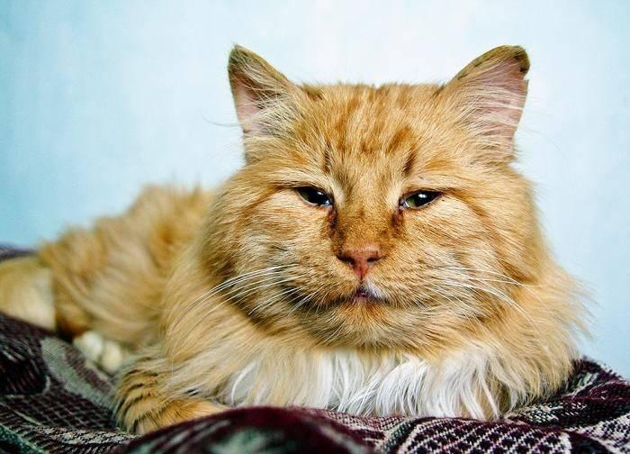 Советы по облегчению жизни для вашей пожилой кошки