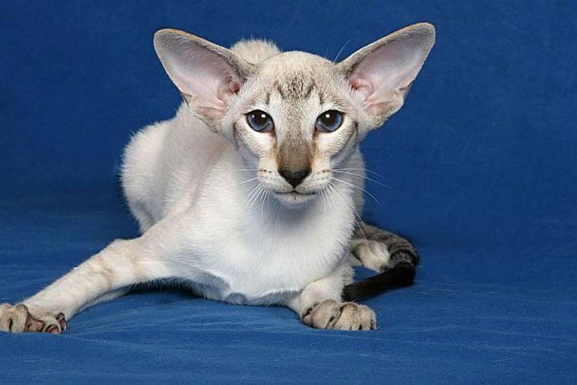 Калифорнийская сияющая кошка: фото, цена, описание породы, характер, видео