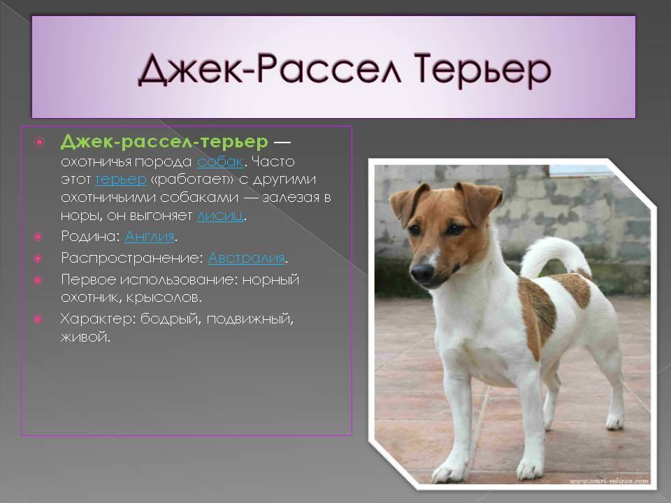 Подробная характеристика джек-рассел-терьеров: все о породе собак
