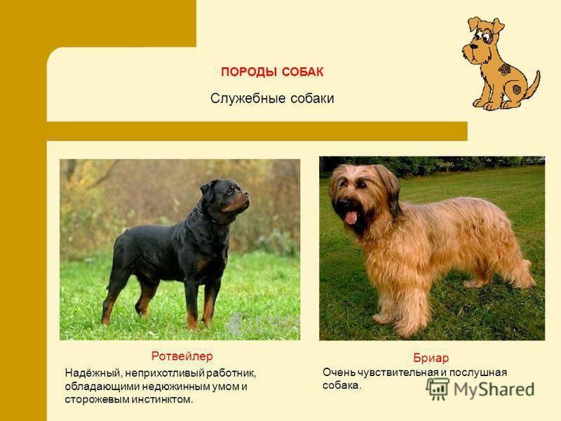 ᐉ 11 пород служебных собак: характеристика, описание и стоимость - kcc-zoo.ru