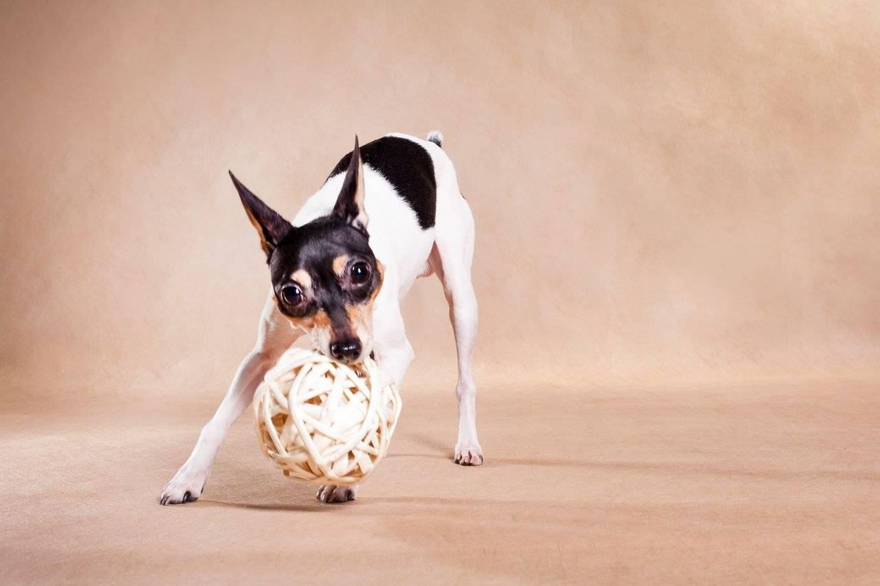 Жесткошерстный фокстерьер – дружелюбие, задор и бесстрашие в одной собаке